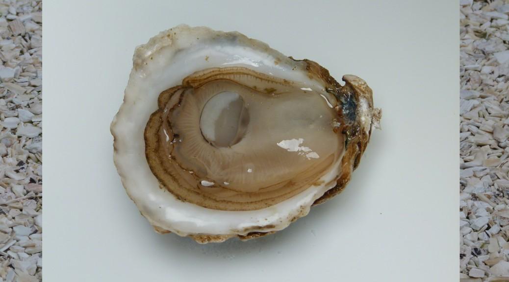 Tumblestone Oyster - Outer Cape Cod Bay.